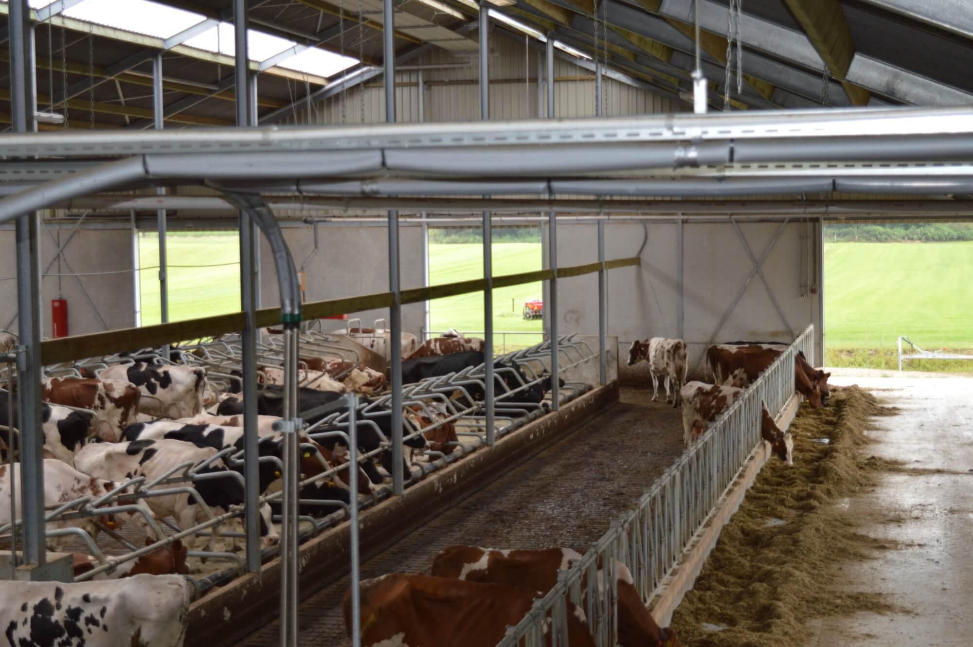 Nieuwe koeienstal Kurstjens Montfort